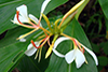 spiked ginger lily1